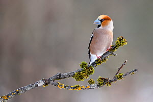Hawfinch (Coccothraustes coccothraustes) perched on branch, Lorraine, France, February  -  Michel Poinsignon