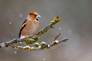 Hawfinch (Coccothraustes coccothraustes) perched on branch in snow, Lorraine, France, March  -  Michel Poinsignon