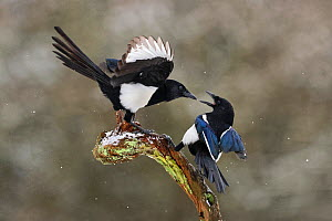 Magpies (Pica pica) fighting on branch in winter, Lorraine, France, January  -  Michel Poinsignon