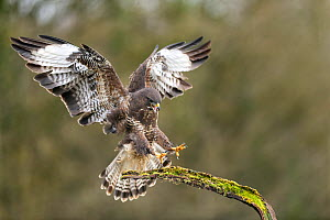 Buzzard (Buteo buteo) landing on branch and calling, Lorraine, France, January  -  Michel Poinsignon
