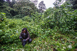 1675013 - - Conservation Through Public Health (CTPH) founder Dr. Gladys Kalema- Zikusoka collects gorilla faeces from their night beds, which will be analysed in her lab to monitor the health of the...  -  Jo-Anne McArthur / We Animals