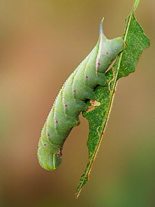 Eyed hawk moth (Smerinthus ocellatus) caterpillar in defence posture on a Sallow leaf, Hertfordshire, England, UK, October. Focus stacked.  -  Andy Sands