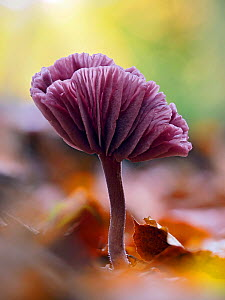 Amethyst deceiver (Laccaria amethystina), mature mushroom that had curved up to show the gills, Buckinghamshire, England, UK, November. Focus stacked.  -  Andy Sands