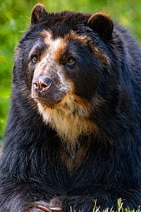 Spectacled bear(Tremarctos ornatus) captive in zoo, occurs in South America.  -  Denis-Huot