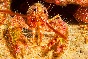 Hawaiian lobster (Enoplometopus occidentalis) with its shell covered in algae and parasitic barnacles (Paralepas species), indicating that it will soon moult, Hawaii.  -  David Fleetham
