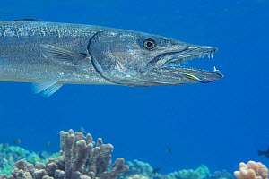 Great barracuda (Sphyraena barracuda) being cleaned by an endemic Hawaiian cleaner wrasse (Labroides phthirophagus) at a cleaning station, Hawaii.  -  David Fleetham