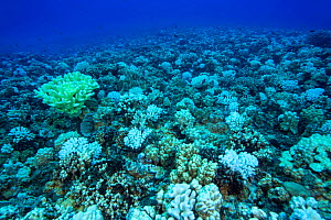 Coral bleaching - colonies of Cauliflower coral (Pocillopora meandrina) were the most affected by the high water temperatures although other species also perished, Hawaii. October 2015.  -  David Fleetham