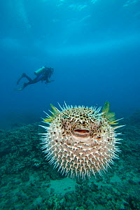 Spotted porcupinefish (Diodon hystrix) inflated in defensive display with diver in the background, Hawaii. Model released.  -  David Fleetham