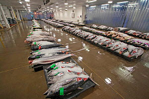 Yellowfin tuna (Thunnus albacores) and other open ocean fish species displayed for auction at the Honolulu United Fishing Agency's daily fish auction near Kewalo Basin on Oahu, Hawaii. The only co...  -  David Fleetham