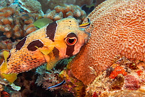 Bluestreak cleaner wrasse (Labroides dimidiatus) juvenile and adult inspecting a Black-blotched porcupinefish (Diodon liturosus) foraging on coral, off the island of Yap, Micronesia.  -  David Fleetham