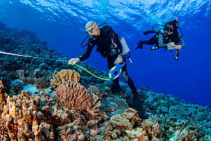 Research divers from the MOC Marine Institute map out coral damage at Molokini Marine Preserve off the island of Maui, Hawaii. In the future, data from here will help to determine the health of Hawaii...  -  David Fleetham