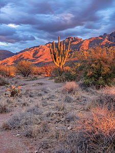 Santa Catalina Mountains with a drought-stricken Giant saguaro cactus (Carnegiea gigantea). The foreground was previously covered with Prickly pear cacti (Opuntia engelmannii) before the drought, Cata...  -  Jack Dykinga