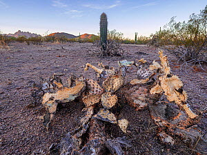 Prickly pear cactus (Opuntia engelmannii) that is drought stressed as well as having been gnawed at by rodents that need the moisture. In the background, a young Saguaro cactus (Carnegiea gigantea) wi...  -  Jack Dykinga