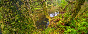 Ferns and moss-covered conifer tree trunks with pools of water, The Great Bear Rainforest, British Columbia, Canada..  -  Jack Dykinga