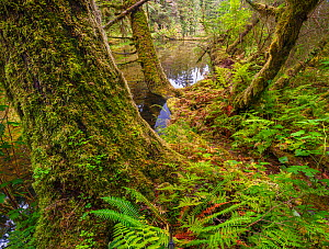 Ferns and moss-covered conifer tree trunks with pools of water, The Great Bear Rainforest, British Columbia, Canada.  -  Jack Dykinga