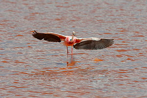 James's flamingo (Phoenicoparrus jamesi) wings spread, Laguna Colorado, Bolivia. March. The colour of the water is caused by red sediments and algae.  -  John Shaw