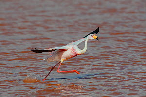 James's flamingo (Phoenicoparrus jamesi) in flight, at Laguna Colorado, Bolivia. March. The colour of the water is caused by red sediments and algae.  -  John Shaw