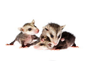 Three rescued baby North American opossums(Didelphis virginiana) on a white background, Florida, USA. Captive.  -  Karine Aigner