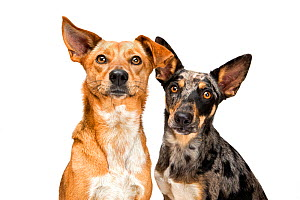 Portrait of a two mixed breed rescue dogs on white background. Australian shepherd cattle dog mix (right).  -  Karine Aigner