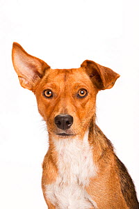 Portrait of a rescue dog on white background, one ear perked up.  -  Karine Aigner