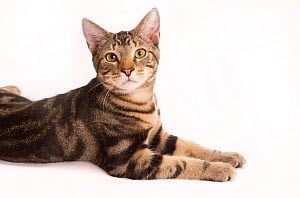 Portrait of a young rescued tabby cat / kitten on white background.  -  Karine Aigner