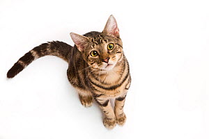 Portrait of a young rescued tabby cat / kitten looking up on white background.  -  Karine Aigner