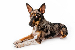 Studio portrait of a rescued Australian shepherd / cattle dog mix with a merle coat on white background.  -  Karine Aigner