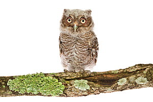 Portrait of a juvenile Eastern screech owl (Megascops asio) on a lichen-covered branch against a white background, Florida, USA. March.  -  Karine Aigner