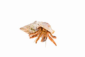 Caribbean hermit crab (Coenobita clypeatus) emerging from its shell, on a white background, Belize.  -  Karine Aigner