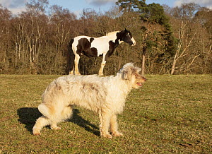Forced perspective photo of a horse appearing to stand on a dog's back, UK.  -  Mark Taylor