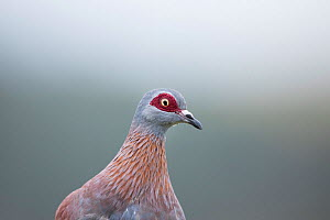 Speckled pigeon (Columba guinea) Herold's Bay, Western Cape Province, South Africa.  -  Richard Du Toit