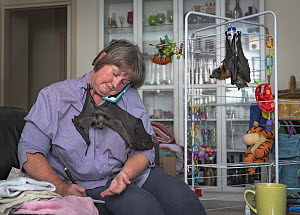Wildlife carer looks after three recently orphaned Grey-headed flying-foxes (Pteropus poliocephalus) in her home whilst simultaneously taking phone calls to manage the next wildlife rescue.    Capti...  -  Doug Gimesy