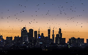 Grey-headed flying-foxes (Pteropus poliocephalus) fly out over the Melbourne city skyline looking for food during at sunset. Kew, Victoria, Australia. March 2017.  -  Doug Gimesy