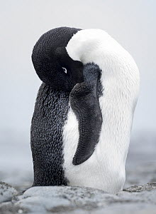 Adelie penguin (Pygoscelis adeliae) was seen just before Christmas standing all alone at Buckles Bay on Macquarie Island, Buckles Bay, Macquarie Island, Australian Territory.  -  Doug Gimesy