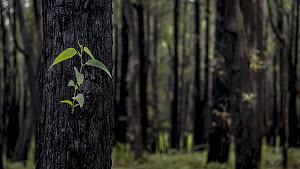 Signs of life start to emerge from a Eucalyptus sp., after a fire. Dandenong ranges, Victoria, Australia.  May, 2015  -  Doug Gimesy