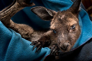 Kangaroo Island kangaroo joey (Macropus fuliginosus fuliginosus), rests in a home-made artificial pouch. This kangaroo was rescued from the pouch of a mother that was killed by a car impact. Kangaroo...  -  Doug Gimesy