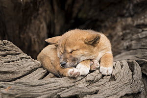 Dingo puppy (Canis lupus dingo), asleep on an old tree trunk. ~~Captive, Dingo Discovery and Reserach Centre, Toolern Vale, Victoria, Australia. Property released.  -  Doug Gimesy