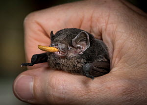 Gould's wattled bat (Chalinolobus gouldii) held in hand and fed mealworms (Tenebrio molitor) by a wildlife carer before being successfully released back into the wild. Gardenvale, Victoria, Austra...  -  Doug Gimesy