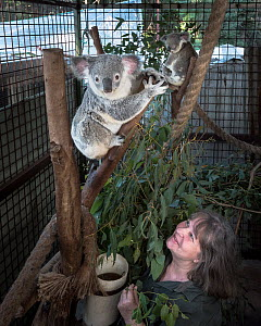 Wildlife rescuer and carer looking up at a koala (Phascolarctos cinereus), in a tree inside a cage at Return to the Wild wildlife rescue facility. Carbalah, Queensland, Australia. April 2017. Editoria...  -  Doug Gimesy