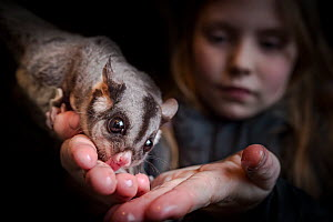 Daughter of the founders of the Ecology Conservation Centre hand feeds honey to one of their resident sugar gliders (Petaurus breviceps).   Captive, Conservation Ecology Centre, The Otways, Victoria,...  -  Doug Gimesy