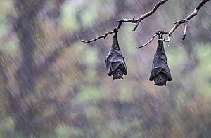 Two grey-headed flying foxes (Pteropus poliocephalus) hang form a tree branch during a rain storm. Yarra Bend Park, Kew, Victoria, Australia December 2017  -  Doug Gimesy