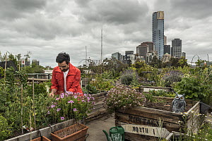 Man gardening on roof top car park at Federation Square in Melbourne's CBD, which was transformed into a vegetable garden. Made up of over 140 do-it-yourself veggie plots housed in individual recycled...  -  Doug Gimesy