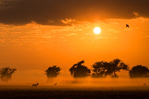 Male Waterbuck at sunrise on the floodplain of Gorongosa National Park, Mozambique.  The sun's rays filter through  smoke from widespread bush fires. The fires are important to keep  the savanna from...  -  Jen Guyton