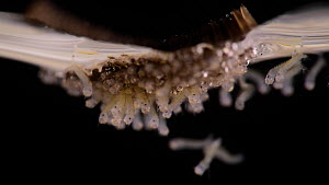 Hatching mosquito (Culex pipiens) egg raft floating on water. The first larva is just hatching.  -  Solvin Zankl