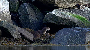 Adult Eurasian otter (Lutra lutra) rolling in seaweed and grooming pup before resting, Norway.  -  Ismaele Tortella