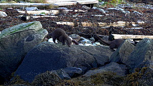 Adult Eurasian otter (Lutra lutra) defecating on shoreline to mark territory before walking away with her pup following close behind, Norway.  -  Ismaele Tortella