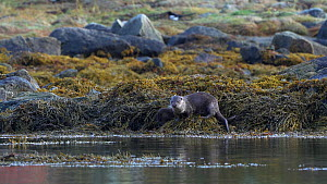 Adult Eurasian otter (Lutra lutra) and pup eating crabs on seaweed cover rocks, pup finishes and joins the her as she finishes eating, they both then enter the water and swim away, Norway.  -  Ismaele Tortella