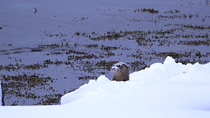 Eurasian otter (Lutra lutra) rolling until its face is covered with snow, while it calls and responds to another otter nearby, Norway.  -  Ismaele Tortella