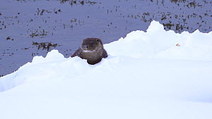Eurasian otter (Lutra lutra) standing in snow, calling and responding to another otter nearby, Norway.  -  Ismaele Tortella