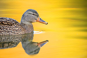 Mallard (Anas platyrhynchos) female swimming with autumn colours reflected in the water, London, UK, November  -  Oscar Dewhurst